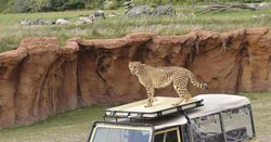 Cheetah at the watering hole