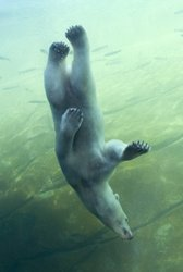 View of polar bears swimming above