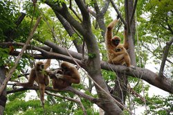 Gibbons in the trees