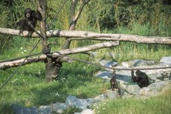 Chimps outdoors