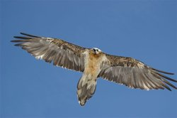 Released bearded vulture